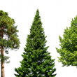 Three trees on white - Stock Photo