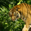 Stock Photo: Tiger in jungle