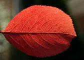 Red autumn leaf macro — Stock Photo