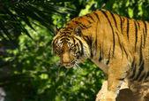 Tiger in jungle — Stock Photo