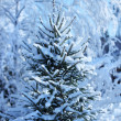 Fir tree in winter forest — Stock Photo