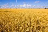 Golden wheat field and blue sky. — Stock Photo
