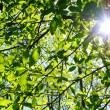 Green fresh spring tree leafs and sun coming though. — Stock Photo