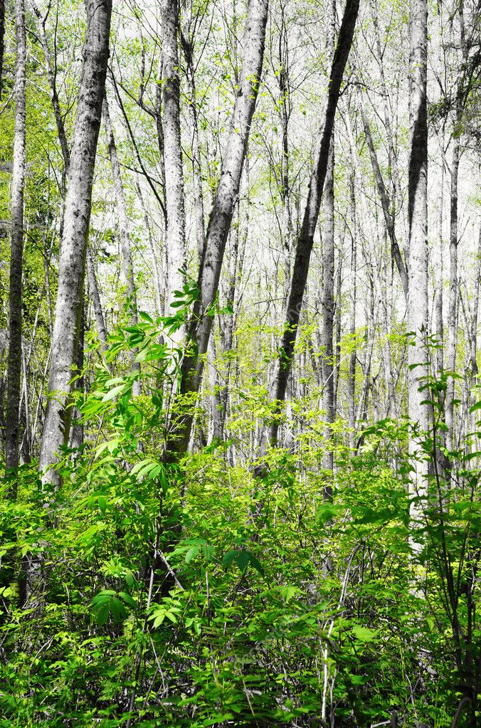 Black and white birch forest with green leafs. — Stock Photo #10291870