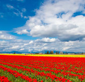 Red tulip field and blue sky. — Stock Photo