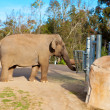 Elephant in SDiego zoo. — Stock Photo #9817483