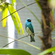 Blue bird in San Diego zoo. — Stock Photo
