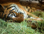 Tiger in San Diego zoo. — Stock Photo