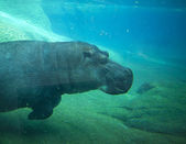 Hippo swimming in San Diego zoo. — Foto de Stock