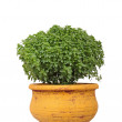 Basil in pot — Stock Photo