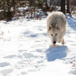 Wolf Stalking Prey — Stock Photo #10110270