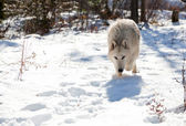 Wolf Stalking Prey — Stock Photo