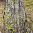Moss on a Stump - Stock Photo
