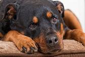 Rottweiler Portrait — Stock Photo