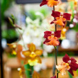 Foto Stock: Angel Orchids