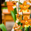 Orange Angel Orchids — Stock Photo