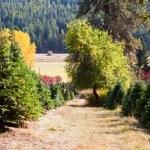 Christmas Tree Farm — Stock Photo