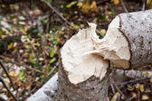 Beaver Cut Tree — Stock Photo