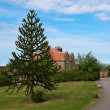 Monkey Puzzle Tree — Stockfoto #8378492