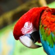 Постер, плакат: Sleeping Macaw Parrot