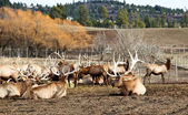 Herd of Bull Elk — Stock Photo