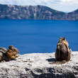 Stock Photo: Chipmunks at Crater Lake