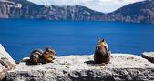 Chipmunks at Crater Lake — Stock Photo