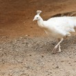 Albino Peacock — Stock Photo
