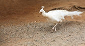 Albino pfau — Stockfoto