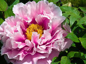 Japanese Peony Flower — Stock Photo