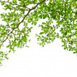 Green leaves isolated on the white. — Stock Photo #9692138