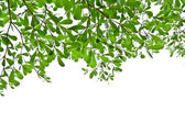 Green leaves isolated on the white. — Stock Photo