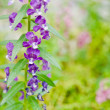 Angelonia Goyazensis Benenth flower. — Stock Photo