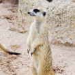Meerkat in the wild life. — Stock Photo