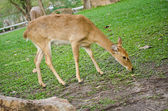 Deer in the park. — Stock Photo