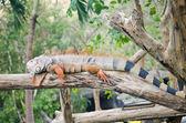 Velké leguán ve volné přírodě — Stock fotografie