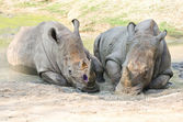 Rhino in the park. — Stock Photo
