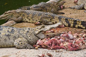 Crocodile eating meat. — Foto de Stock