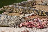 Crocodile eating meat. — Stock Photo