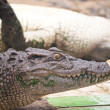 Close up freshwater crocodile. — Stock Photo