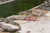 Freshwater crocodile in the breed. — Stock Photo