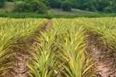 Pineapple field background. — Stock Photo