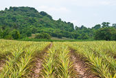 Pineapple field background. — Stock Photo