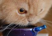 Persian cat drinking water — Stock Photo