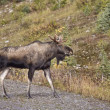 Bull Moose Alberta — Stock Photo