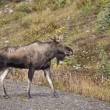 Bull Moose Alberta — Stock Photo #8101218