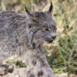 Rocky Mountain Lynx — Stock Photo