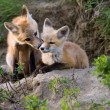 Fox Kits Canada — Stock Photo #8101361