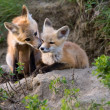 Fox Kits Canada — Stockfoto