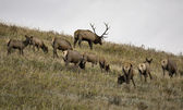 Wild Elk in Alberta — Stock Photo